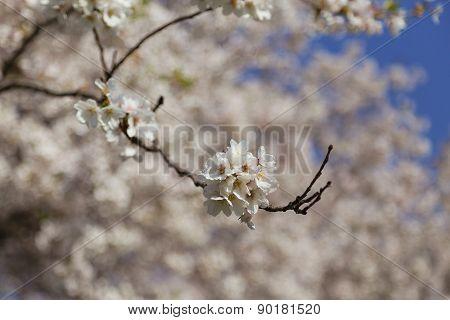 Cherry Blossom On A Sakura Tree