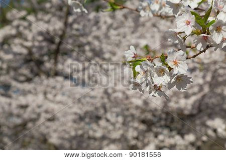 Cherry Blossom On A Sakura Tree Backdrop