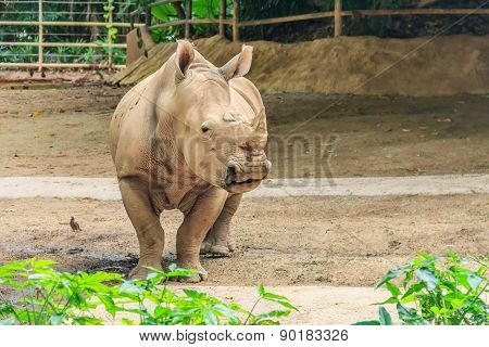 Rhino In A Zoo