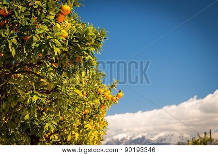 Orange Tree Ready For Harvest