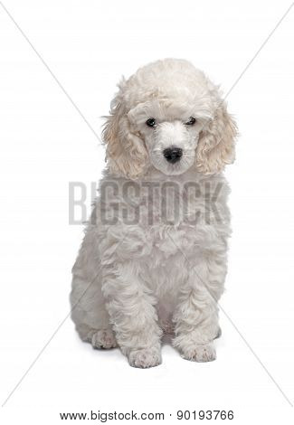 Portrait of the white puppy podle