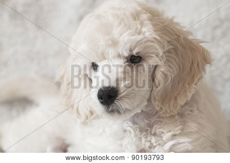 Portrait of the white puppy poodle