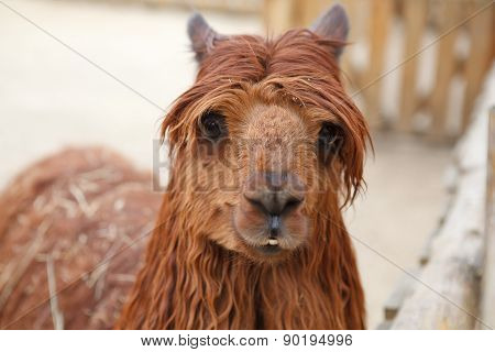 Red Lama With Stylish Haircut