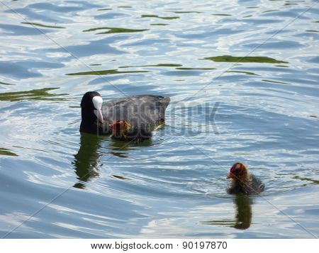 Black Coot On Lake