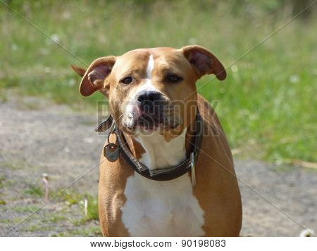 Guarding Pit Bull Dog