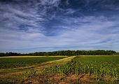 picture of alabama  - This is a corn field in Limestone County Alabama USA - JPG