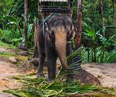 picture of indian elephant  - Indian elephant on a walk in the jungle - JPG