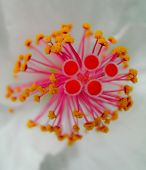 pic of stamen  - flowers - JPG