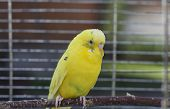 foto of upset  - Upset yellow budgie sitting on perch in a birdcage outdoor horizontal shot - JPG