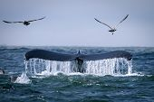 stock photo of sky diving  - The tail of a huge blue whale diving into the water and smacking gulls over it - JPG