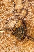 stock photo of cross-section  - Cross section of the tree trunk - JPG