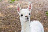 stock photo of lamas  - Full white llama  - JPG