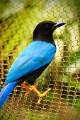 stock photo of bird fence  - Turquoise Yucatan Jay bird on a wire fence - JPG
