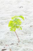 picture of tamarind  - Small tamarind tree growing on white sand - JPG