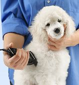 pic of poodle  - Poodle grooming at the salon for dogs - JPG