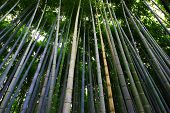 foto of bamboo forest  - taken in the Bamboo forest in Arashiyama - JPG