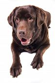 stock photo of chocolate lab  - Chocolate labrador dog girl is isolated on the white background - JPG