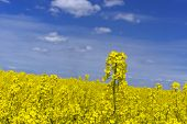 picture of rape-seed  - yellow rape field with blue sky on sunny day - JPG