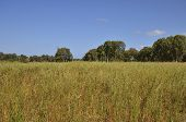 foto of eucalyptus trees  - meadow on the edge of the forest of eucalyptus trees - JPG
