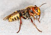 image of vespa  - close up of European hornet  - JPG