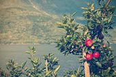 picture of apple tree  - apple tree with apples and a beautiful view in the background - JPG
