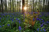 image of fern  - fern and bluebells in forest at sunrise Hallerbos Belgium - JPG