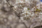 stock photo of cherries  - Cherry blossoms in the spring with a closeup to the flowers and other cherry blossoms can be seen in the background - JPG