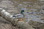 picture of canard  - Male mallard duck on the fallen tree on the bank of the creek - JPG
