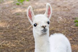 pic of lamas  - Full white llama  - JPG