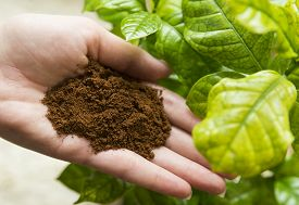 image of coffee coffee plant  - Ground coffee in hand with coffee plant in the background - JPG