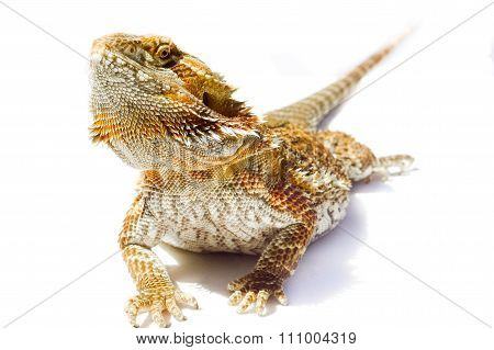 I'm so handsome - Pet German Giant Bearded Dragon, isolated sunning outdoors.