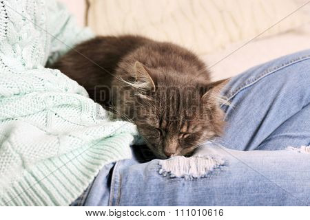 Grey lazy cat sleeping on woman's knees in the room