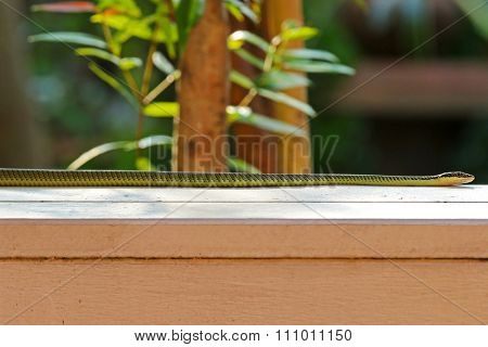 A green snake (Chrysopelea ornata) named Golden tree snake, ornate flying snake, golden flying snake