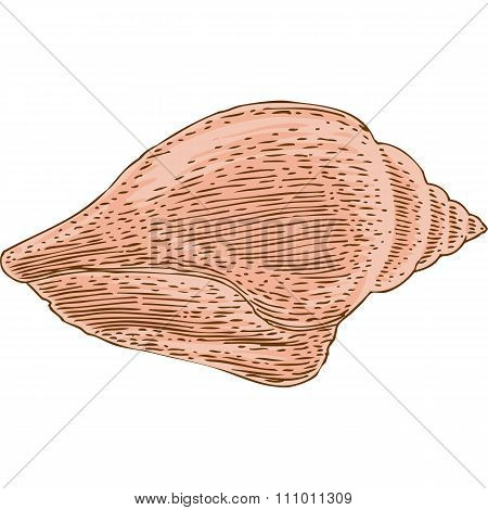 Marine sea shell on White Background