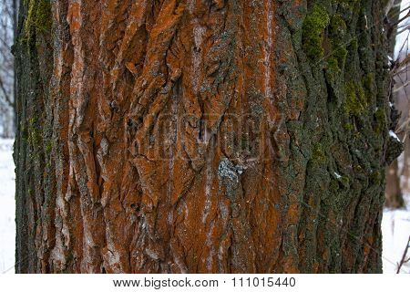 The Trunk Of A Poplar Covered With Red Lichen Close Up