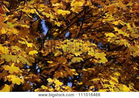 Golden-leaved Maple Tree