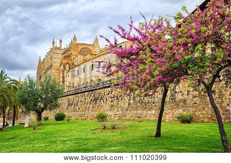 Blooming Cherry Tree In The Cathedral Garden, Palma De Mallorca, Spain