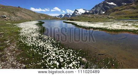 Mountain panorama: a small lake with white flowers (Eriofori, endemic in the area) in a summer sunny day. Gran Paradiso National Park, Western italian Alps, Italy, Europe.