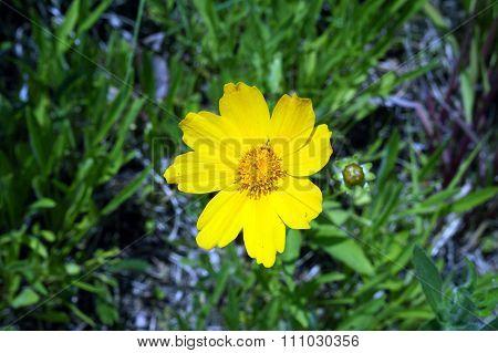 Lance-Leaved Coreopsis
