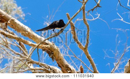 Willie Wagtail: Stare Down