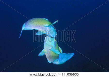 Two Parrotfish fighting