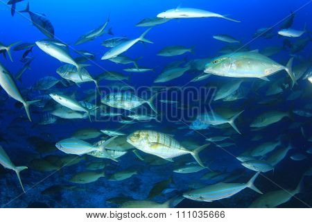 Fish predators hunting: mixed school of trevallies (jacks), rainbow runners, emperors and snappers,