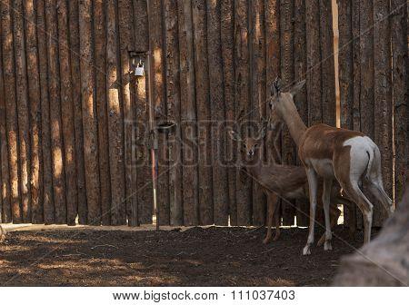 Soemmerring's gazelle, Nanger soemmerringii