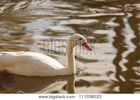 White snow goose, Chen, swims