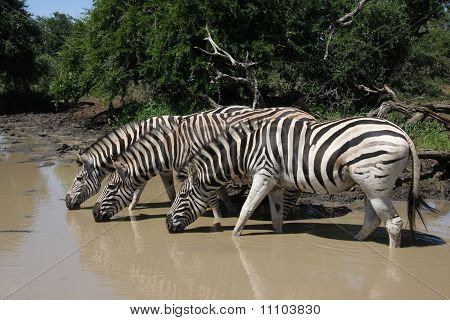 Zebra at water hole.