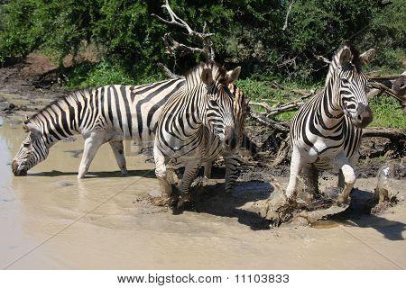 Burchills Zebras