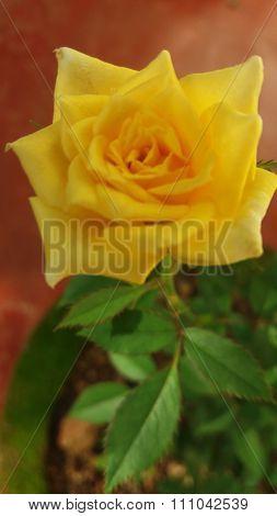 yeloow rose