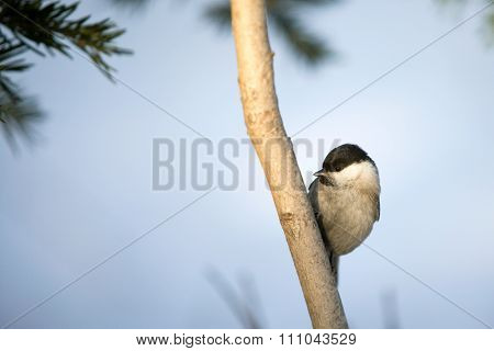 Tit on a branch.