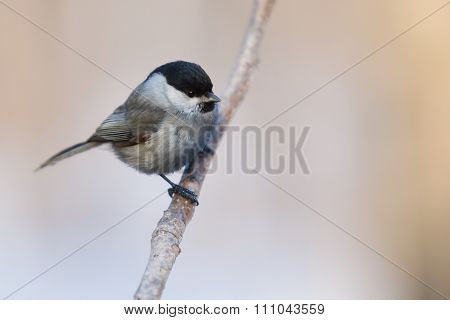 Tit on a branch?