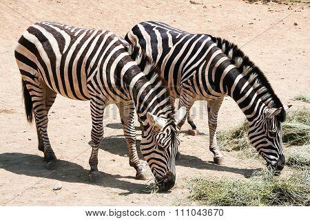 Family of zebras.